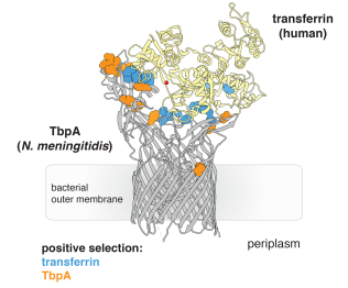 Rapid evolution at the transferrin-TbpA binding interface.